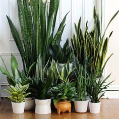 The snake plant gang: Sansevierias The many names we call them: viper's bowstring hemp, snake plant, mother-in-law's tongue or Saint George's sword in Brazil! Potted Plants, Cactus Plants, Garden Plants, Indoor Plants, Plant Pots, Leafy Plants, Living Room Plants, House Plants Decor, Plant Design