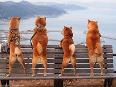Shiba's hanging out