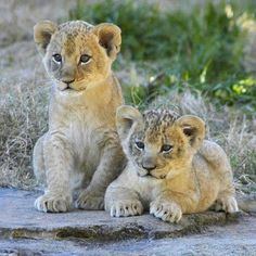 Lion cubs by ucumari Young Animals Photographs Zoo Animals, Cute Baby Animals, Animals And Pets, Exotic Animals, Animals Images, Wild Animals, Big Cats, Cats And Kittens, Cute Cats