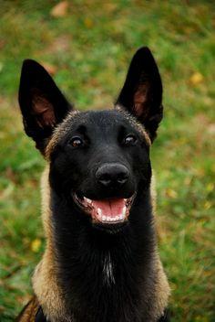 Lol, he looks like a hyena! Awww, the gorgeous Belgian Malinois. Pastor-belga Malinois, Berger Malinois, Belgian Malinois Dog, Malinois Shepherd, Malinois Puppies, Belgian Shepherd, German Shepherd Dogs, War Dogs, Military Dogs