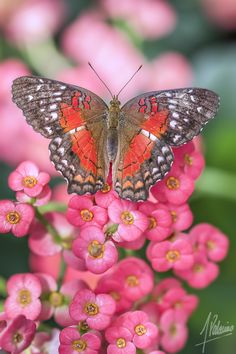Photograph Butterfly by Alfonso Palacios