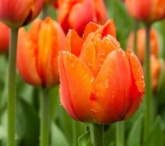Tulip Orange Balloon