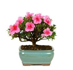 The Satsuki Azalea Bonsai Tree will spice up your home decor. This is a very popular mother's day gift