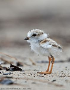 fairy-wren: Piping plover chick (photo by christopher ciccone) All Birds, Little Birds, Love Birds, Beautiful Birds, Animals Beautiful, Cute Baby Animals, Animals And Pets, Amazing Animals, Shorebirds