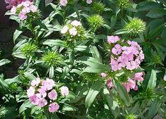 Bildergebnis für Dianthus Barbatus, Bartnelken