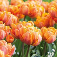 Spectacular Interessante Blumenzwiebel Mischung in Pastellfarben f r die Etagen Bepflanzung Gefunden auf tom garten de Pinterest