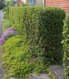 taikinamarja Ribes alpinum