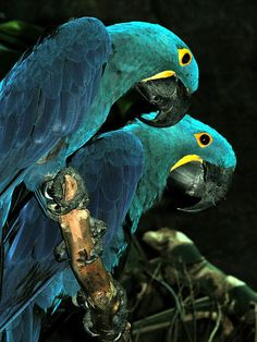 Very Pretty Hyacinth Macaws