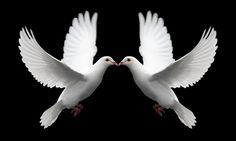 Google Image Result for http://www.talismancoins.com/catalog/Pair_of_White_Doves_Symbolize_Love.jpg