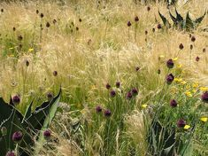 mexican feather grass interplanted with agaves and Allium sphaerocephalon van sweden and oehme detail by mimulus7, via Flickr