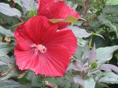 perennial hibiscus- always so nice.