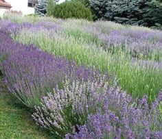 Weir's Lane Lavender & Apiary is a working farm, located just outside of the City of Hamilton, just west of Toronto. We've developed several pages with Eco Friendly, Lavender, New Homes, Explore, Adventure, Street, Hamilton, Toronto, Plants
