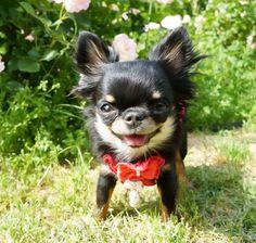 おはりり   めちゃ笑顔   Li'li'i #chihuahua  #osaka #utsubopark #rose  #smile by chihuahuakaachan