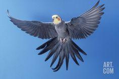 Cockatiel in Flight Photographic Print