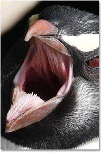 Penguins Are Stashing Teeth in Their Beaks