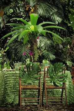 "Giant mano de tigre leaves (also known as ""tiger's paw"") complete these tropical chairs!"