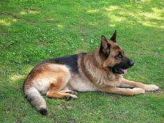 Big german shepherd - Dogs Wallpaper ID 1370909 - Desktop Nexus Animals