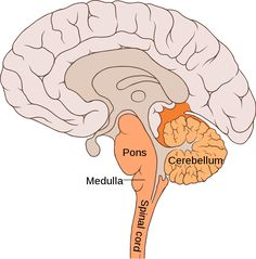 The medulla controls automatic functions like thinking. | Medulla ...