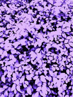 Purple Pastel Leaves Canvas Print