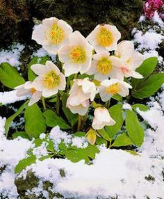 White Christmas Rose, also known as Snow Rose