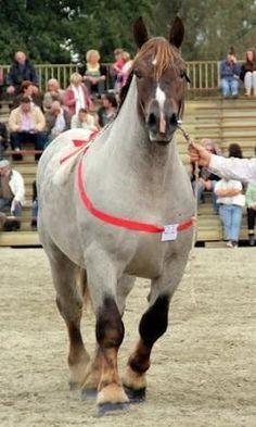 Breton Horse - Horse Breeders Union Breton - ANDRO JOURDU AR - Trait Breton