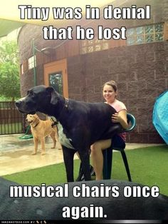 Funny Great Dane Pictures #greatdane