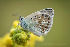 Chalkhill Blue (Polyommatus coridon) by Mark Johnson on 500px