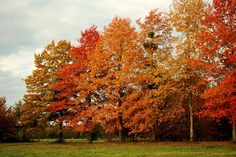 Quercus palustris - Moeraseik