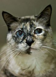 Adopt Odelia @ Feline Rescue, St.Paul MN. Siamese mix, female, spayed/ fully vetted.