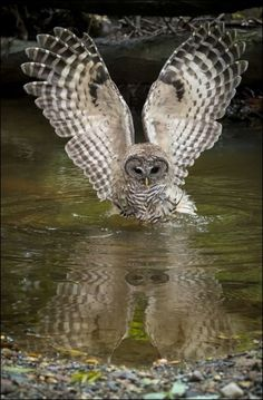 A wonderful shot of a barred owl hunting in the water. The reflection makes this picture precious! By Larry Tibbet More owl finds at My Owl Barn at. Beautiful Owl, Animals Beautiful, Cute Animals, Wild Animals, Baby Animals, Funny Animals, Owl Photos, Owl Pictures, Photo Animaliere