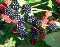 Navaho Thornless Blackberry | NatureHills.com