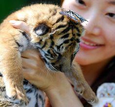 Newborn Tigers | New Born Baby Tiger #tigers #cutetigers