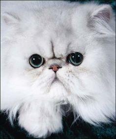 DaLee Plata Oro gatos persas