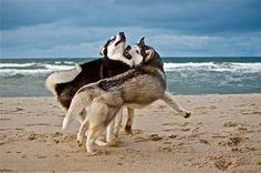 Siberian Huskies playing on the beach