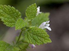 Erva-cidreira - Um calmante com inúmeros benefícios