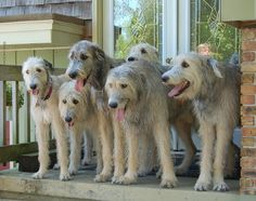 Adorable irish Wolfshounds Troupe we waiting of Dad we go for a walk that's much Fun. Adorable irish Wolfshounds Troupe we waiting of Dad we go for a walk that's much Fun . Irish Wolfhound Dogs, Scottish Deerhound, Huge Dogs, Irish Terrier, Dog Id, Irish Setter, Dogs Of The World, Beautiful Dogs, Dog Friends
