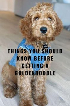 Goldendoodle Training, Goldendoodle Haircuts, Goldendoodle Grooming, Dog Haircuts, Puppy Grooming, Goldendoodle Full Grown, F1b Mini Goldendoodle, Goldendoodle Miniature, Standard Goldendoodle