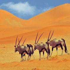 Oryx in Namibia - Pixdaus