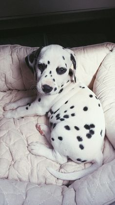 @viljodalmatian dalmatianpuppy dalmatian 8 week old puppy