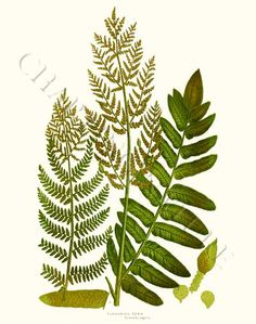 Botanical Print 'Flowering Fern' giclee print via Charting Nature.   #botanicalart #vintageart #fernart #fernprint