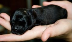 4 day old Scottish Terrier. reminds me of my own scottie puppies. Cute Puppies, Cute Dogs, Dogs And Puppies, Doggies, Baby Dogs, Scottish Terrier Puppy, Terrier Dogs, Animals And Pets, Cute Animals