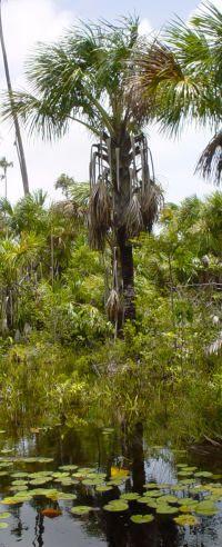 Mauritia flexuosa na Ilha de Marajó, no Pará, no Brasil