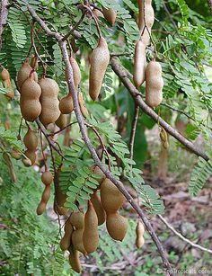 Tamarinds on tree