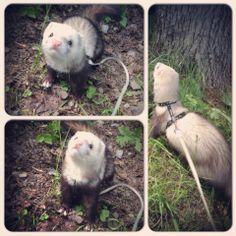 Brumle the ferret! <3