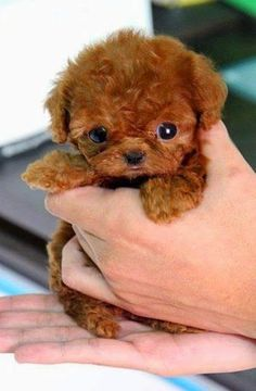 Question: Who loves tiny puppies? Correction: Everyone! Everyone loves tiny puppies! Cute Little Animals, Cute Funny Animals, Little Dogs, Small Puppies, Cute Dogs And Puppies, Doggies, Teddy Bear Puppies, Teddy Bears, Tiny Puppies For Sale