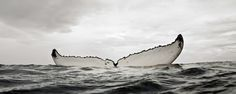 HUMPBACK WHALE MOTHER RESTING - For 20 minutes, this humpback whale rested in a vertical head-down position, slowly spinning on her vertical axis while her calf swam around her. Bryant Austin/studio: cosmos