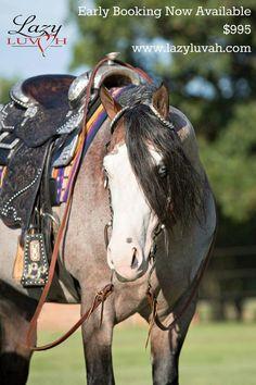 Bay roan quarter horse stallion