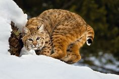 """""""Busy Bobcat""""  The stealthy, elusive and beautiful bobcat (lynx rufus) is so named for its shorter """"bobbed"""" tail. This nocturnal relative of the magnificent Lynx is the smallest of the family, weighing in from 11 to 30 pounds, and measuring 30 to 48 inches long, nose to tail."""