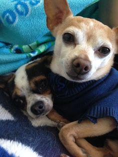 Boston Terrier, Snake, Dogs, Animals, Animais, Animales, Animaux, Pet Dogs, Boston Terriers