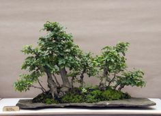 A fine example of a Russian bonsai. This saikei appeals because it has some interesting trunks which are well placed. thanks to the: Suzdal (Russia) Bonsai and Suiseki exhibition 2011